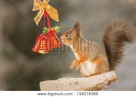 red squirrel is standing with christmas bells