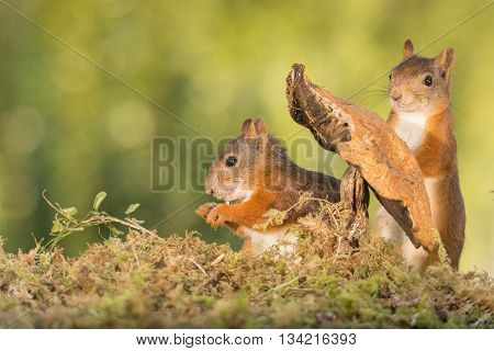 red squirrels standing with a mushroom in moss