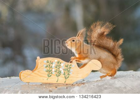 red squirrel standing with a sleigh on ice