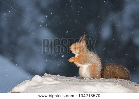red squirrel on snow while snowing with closed eyes