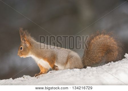 red squirrel standing on snow looking away
