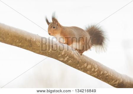 red squirrel standing on tree with snow