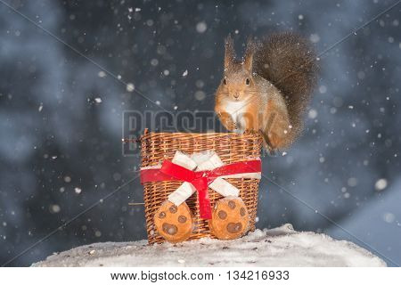 red squirrel with basket while snowing in winter