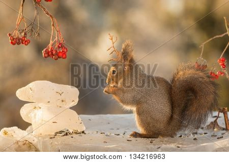 red squirrel standing on ice with berries