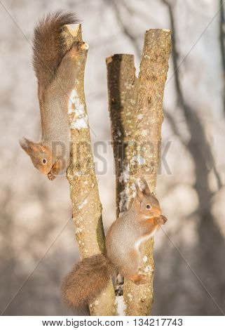 red squirrels standing on tree trunk with snow