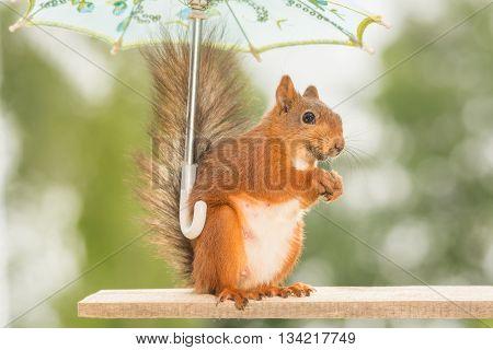 red squirrel under a umbrella on wood
