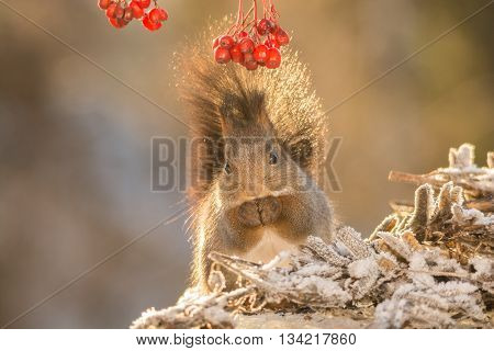 red squirrel standing on plants with snow under berries