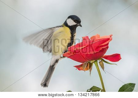 titmouse is standing on a rose with spread wings