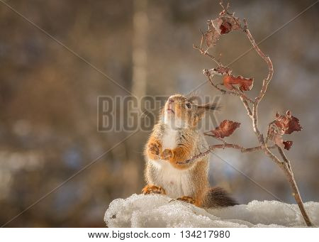 red squirrel standing on snow with branches looking up