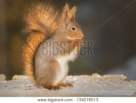 red squirrel standing on ice in light