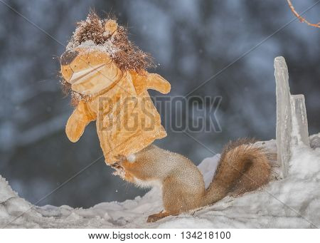 close up of red squirrel in a snow with lion doll