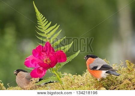 male and female bullfinch with flower on moss