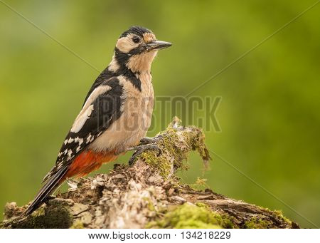 woodpecker standing on tree with moss with trunk