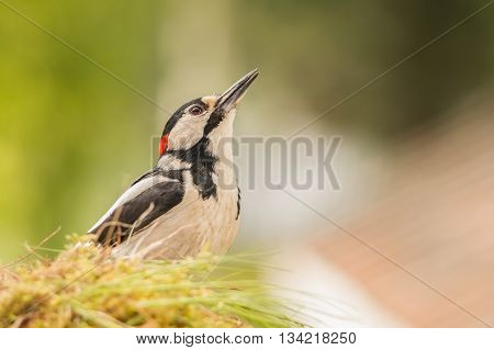 woodpecker standing in grass looking up in light