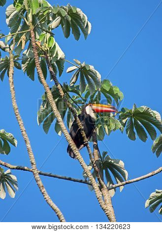 Colorful tucan in the wild