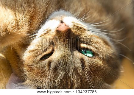 Close-up of ginger cat lying on his back and looks at the camera