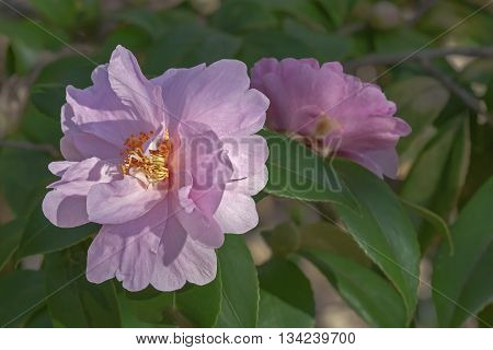 Winter's beauty hybrid camellia (Camellia x hybrid Winter's Beauty). A hybrid of Camellia japonica Billie McCaskill and Camellia oleifera Plain Jane. Image of two flowers