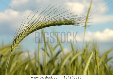 Green, young wheat in the field viewed from the ground-selective focus