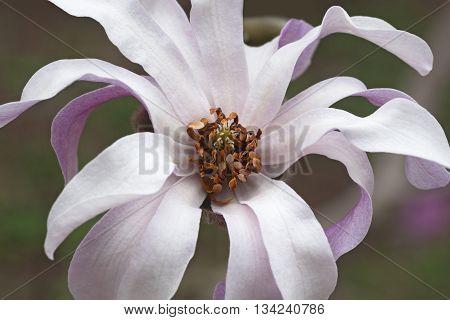 Leonard Messel loebner magnolia flower (Magnolia x loebneri Leonard Messel)