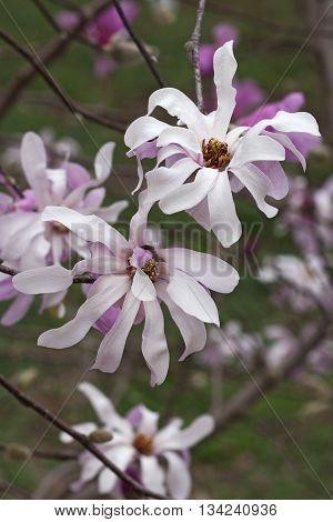 Leonard Messel loebner magnolia flowers (Magnolia x loebneri Leonard Messel)