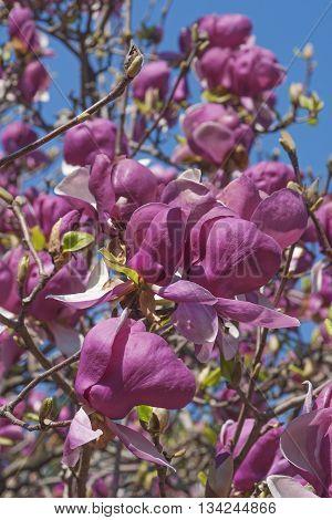 Grace McDade saucer magnolia flowers (Magnolia x soulangeana Grace McDade) poster