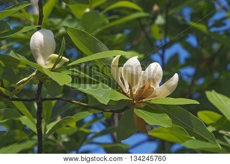 Sweetbay magnolia flowers (Magnolia virginiana). Called Sweetbay Laurel magnolia Swampbay Swamp magnolia Whitebay and Beaver tree also