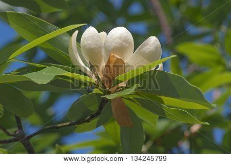 Sweetbay magnolia flower (Magnolia virginiana). Called Sweetbay Laurel magnolia Swampbay Swamp magnolia Whitebay and Beaver tree also