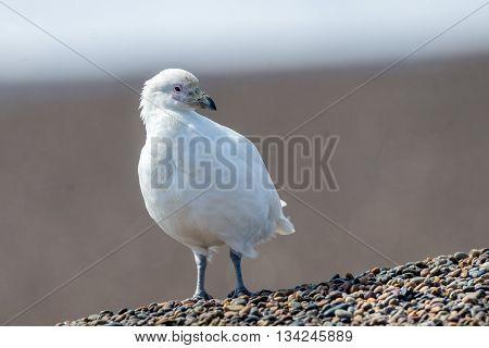 Snowy Sheatbill Paloma Antarctica White Bird Portrait