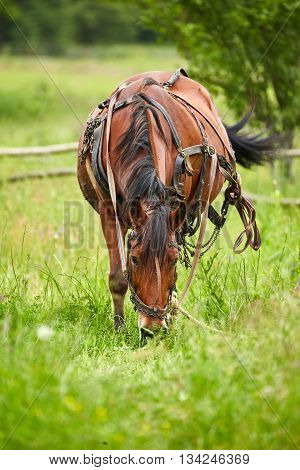 Horse Grazing On A Pasture