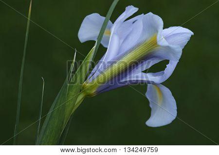 Dutch iris (Iris xiphium). Called Spanish iris also. Another scientific names are Iris lusitanica and Iris x hollandica. Lateral view of light blue flower