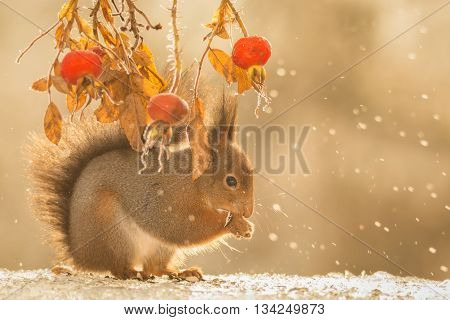close up of red squirrel on ice with brier and drops