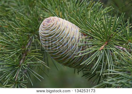 Deodar cedar (Cedrus deodara). Called Himalayan cedar also. Close up image of cone