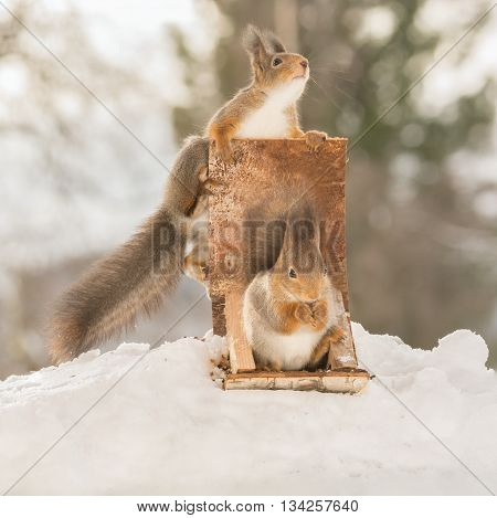 red squirrel on and in a sledge