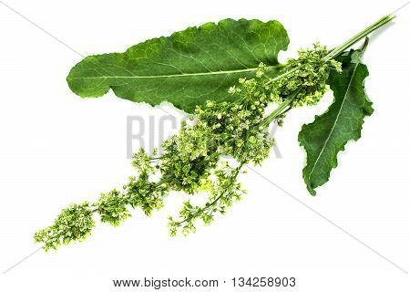 Medicinal plant Sorrel horse (Rumex confertus Asiatic Dock) on a white background. Used in herbal medicine cooking (limited) food for animals for the production of dyes leather tanning