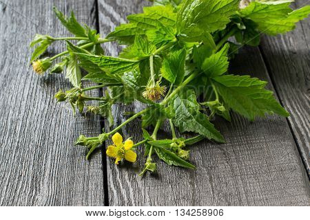 Medicinal plant Geum urbanum. Used in herbal medicine cooking food for animals bee plant and insecticide. Selective focus