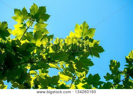 Maple tree leaves green color sunny day outdoor on clear blue sky background