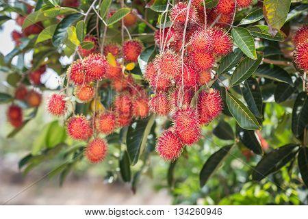 Rambutan On Tree. Rambutan Sweet Delicious Fruit In Thailand