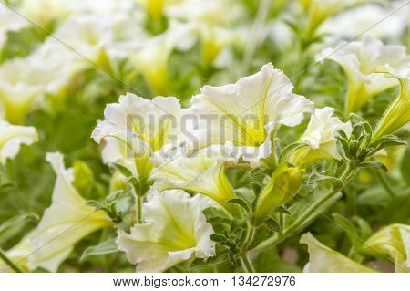 White petunias in the garden close-up selective focus shallow dof.