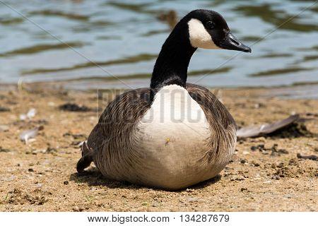 Canadian Goose (kanada Gans)