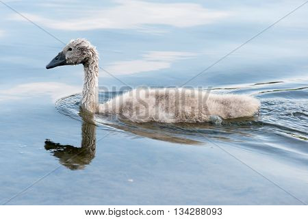 White Swan Hatchling Swimming