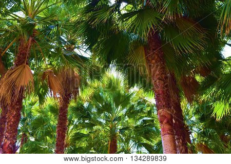 Cluster of California Fan Palm Trees which is native to the lower elevation California desert