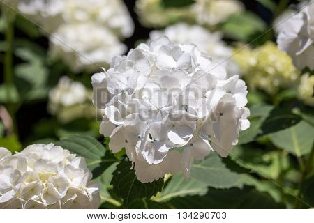White hydrangea is blooming in a park