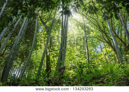 The flourish green bamboo forest, Adgara, Georgia.