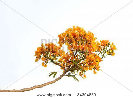Orange Flamboyant Flower Or Delonix Regia(bojer) Isolated