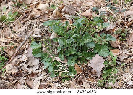 Leaves Of The Herb Barbara (barbarea Vulgaris)
