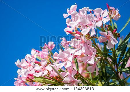 Pink nerium oleander. spring sunny day. Georgia.