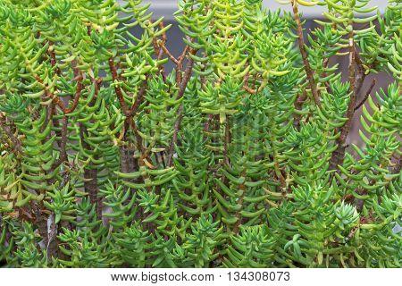 Closeup of Miniature pine tree, Crassula tetragona, succulent plant with woody stem grown in South Australia