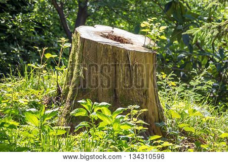 Cut tree trunk in the forest, nature.