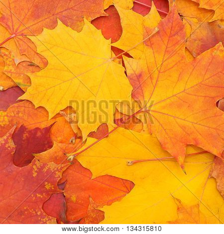 Autumn colorful background of mapple yellow and orange leaves