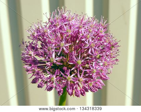 Onion flower bloom close up - macro photo